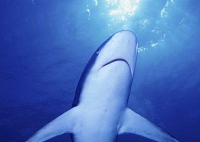 Requin pointe blanche de récif © Girardot