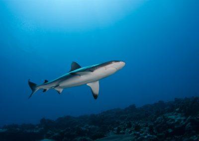 Requin gris de récif © Vincent TRUCHET