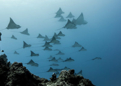 Raies manta - copyright-frederique-legrand.jpg