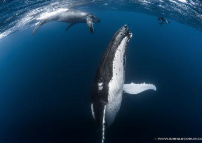 Observation des baleines en plongée en Polynésie francaise