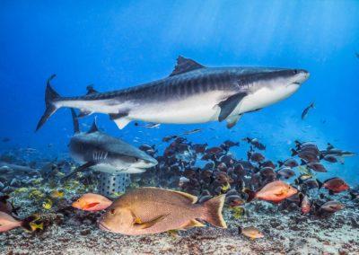 Plongée sous marine avec les requins tigre en Polynésie - Topdive © Tobias FRIEDRICH