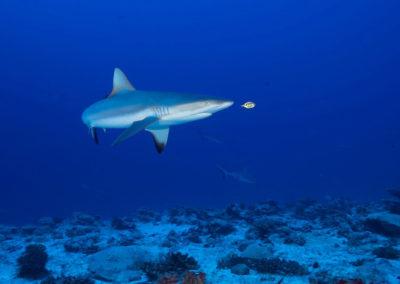 requin-gris-fakarava