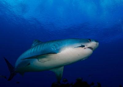 Requin tigre à Tahiti - Topdive