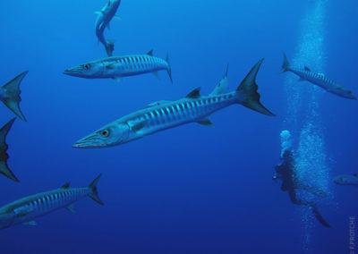 Barracudas en plongée avec Topdive - Photo F.PROTCHE