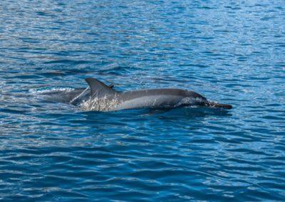 Dauphins à long bec sur le chemin des Baleines à Bosse de Polynésie