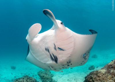 Raie Manta à Bora Bora avec Topdive