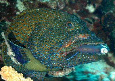 Mérou céleste mangeant un un poisson chirurgien à Moorea en plongée avec Topdive Polynésie