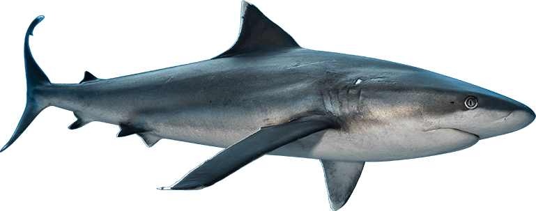 Requin - TOPDIVE