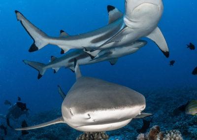 Requins pointe noire à Moorea avec Topdive©greglecoeur