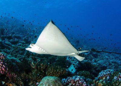 Tetiaroa - Raie Léopard en plongée avec Topdive-T-Kotouc