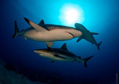 Requins en plongée avec Topdive