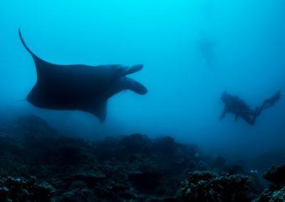 La raie Manta et le plongeur - Topdive