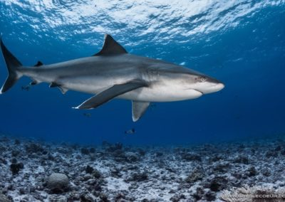 Requin Tapete - topdive