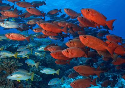 Topdive Fakarava banc de poissons rouge