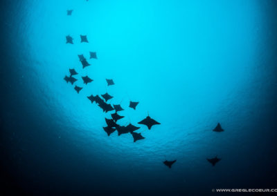 Banc de raies manta - Topdive Polynésie