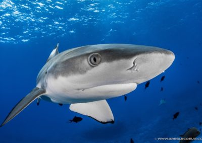 Requin pointe noir - Topdive