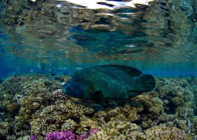 Faka-Sud-poisson-napoléon-topdive