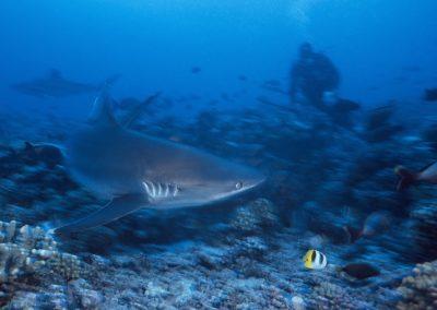 Requin Tapete en plongée à Fakarava avec Topdive