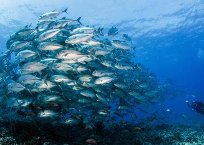 Banc de poissons, Plongée en Polynésie avec Topdive