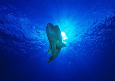 Poisson Napoléon dans les eaux de Tikehau avec Topdive - Photo Girardot