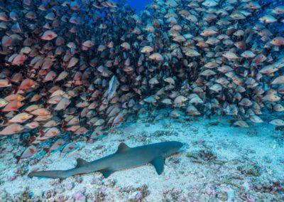Requin nourisse