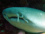 Les barbillons du requin nourrice