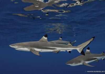 requin-pointe-noire