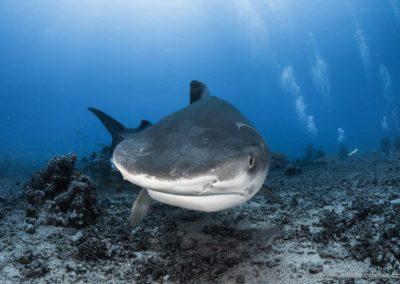 Requin tigre à Tahiti -vallée blanche - Topdive © greglecoeur