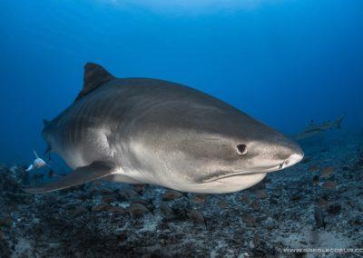 Plongez avec le requin tigre à Tahiti avec Topdive © greglecoeur