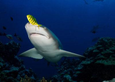 Tahiti, la Vallée Blanche -requin - Topdive