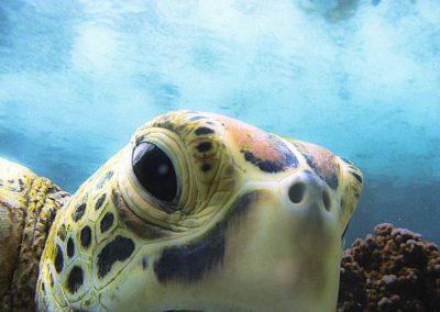 La tortue imbriquée - Topdive Polynésie © V. Truchet