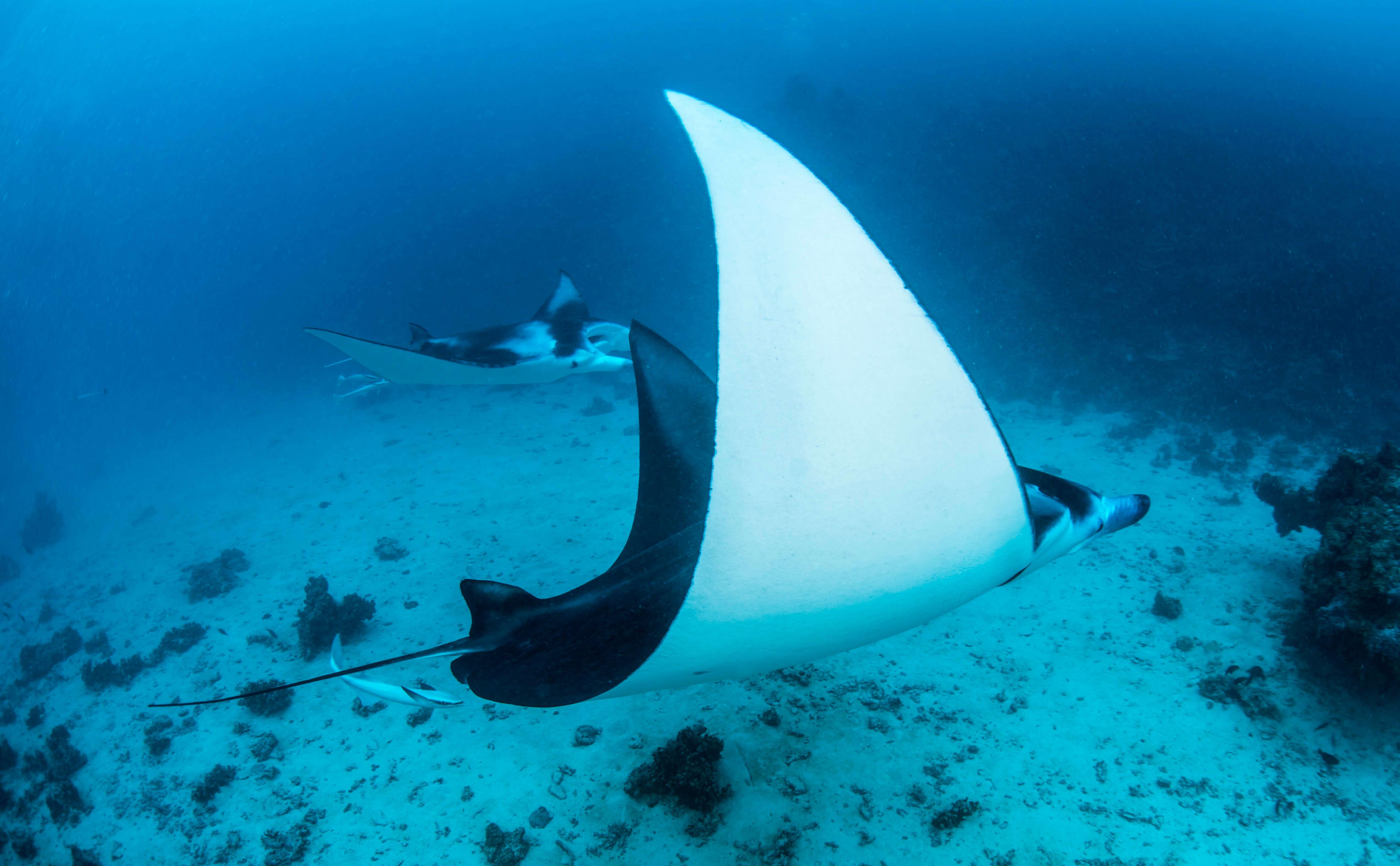 © Tobias Friedrich / Topdive. Baleine au large de Tahiti.